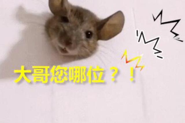 居民家中墙壁上发现一只老鼠 伙食太好卡住了