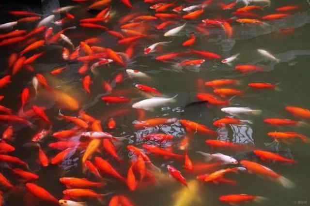 小站稻套养草金鱼每亩增收2000多元