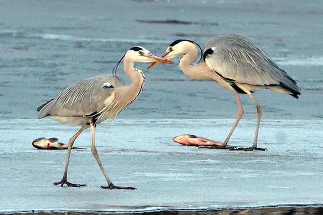 春江水暖鸭先知 武清大黄堡湿地,它们回来了!