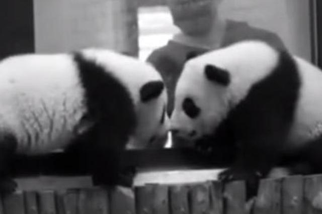 """""""严重过敏""""""""史上首次"""" 成都大熊猫基地公布两只大熊猫死因"""