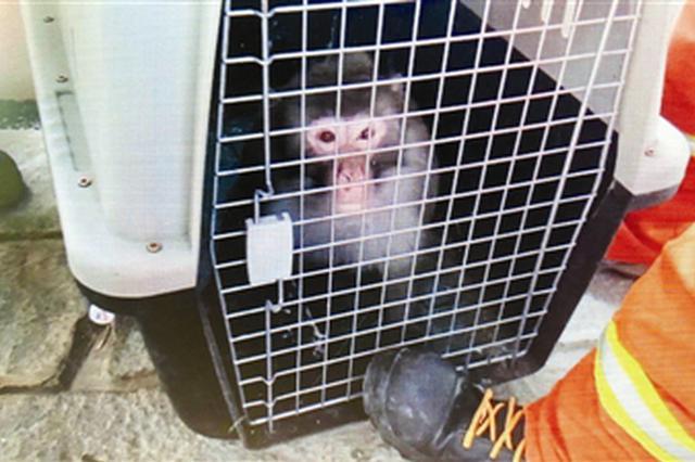 """售楼处竟遇""""大圣来也"""" 消防战士将猴子抓获被野生动物协会带"""