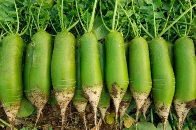 【这是我的村•武清篇】青萝卜? 金萝卜!——大良镇田水铺村的致富经