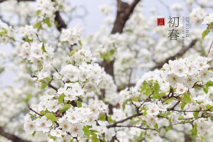 蓟州区梨花节花海满山