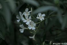 亭林园 ·夹竹桃