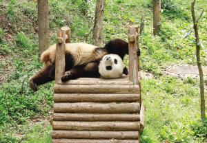 """大熊猫""""丁丁"""""""