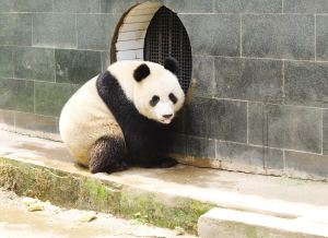 """大熊猫""""如意"""""""