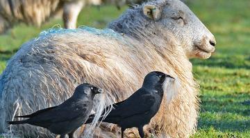 好笑!英国寒鸦从羊背上偷薅羊毛筑巢