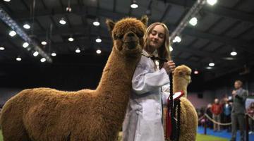 英国羊驼协会举办展览