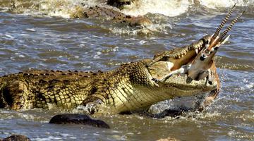 看动物猎食厮杀精彩瞬间