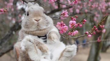 一只生活在日本的兔兔Kuma