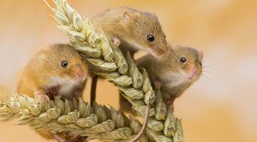 英收割鼠麦穗花朵间玩耍尽显可爱