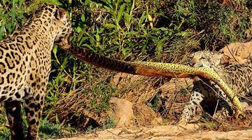美洲豹与幼崽拿蟒蛇玩起拔河游戏