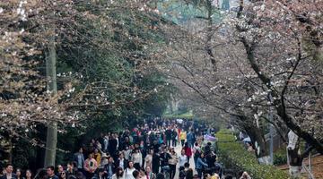 武汉大学樱花初绽 吸引游客观赏