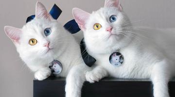 双胞胎喵星人天生异瞳成网红