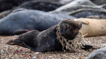 英国小海豹遭渔网缠脖