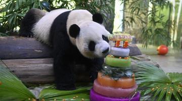 """大熊猫兄弟的""""生日派对"""""""