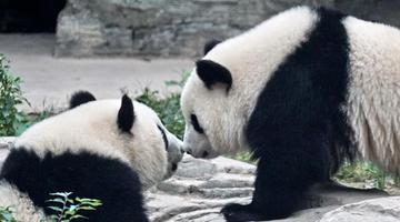双胞胎大熊猫落户北京动物园