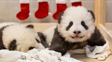 旅德大熊猫双胞胎萌态可掬