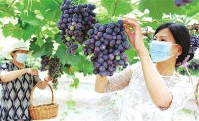 葡萄熟了,人们享受收获的喜悦 资料图片