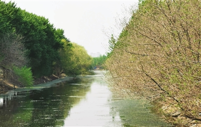 大沽排水河两岸绿树成排