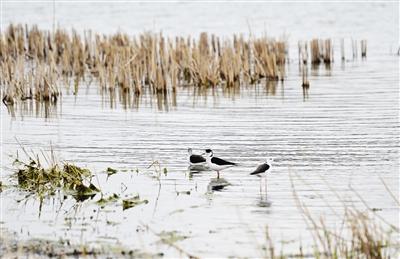 栖息的黑翅长脚鹬 图片由天津港保税区提供