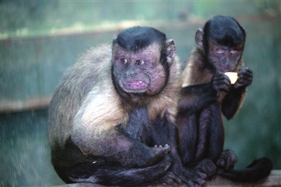 """表情丰富的""""网红猴"""""""