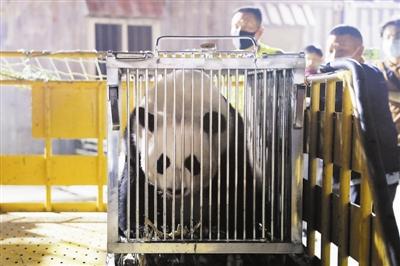 """网红大熊猫安家滨海新区 小乔小川姐弟搬进""""熊猫公馆"""""""