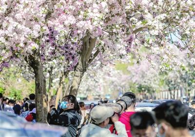 清明假期首日,五大道第七届赏花节如约而至,游人如织,畅游在花海之中。本报记者 吴迪 摄