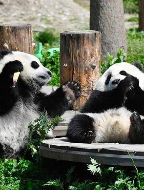 """熊猫""""幼儿园""""开班了"""
