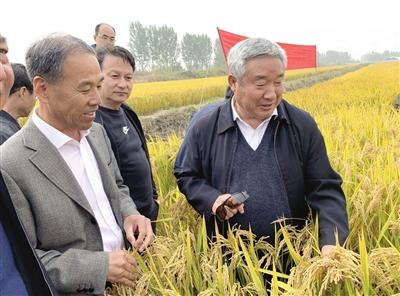 """15日中国工程院院士陈温福(右)和天津原种场育种专家于福安(左)在查看""""津原89""""丰收稻田。"""