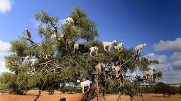 摩洛哥坚果树上站满14只山羊
