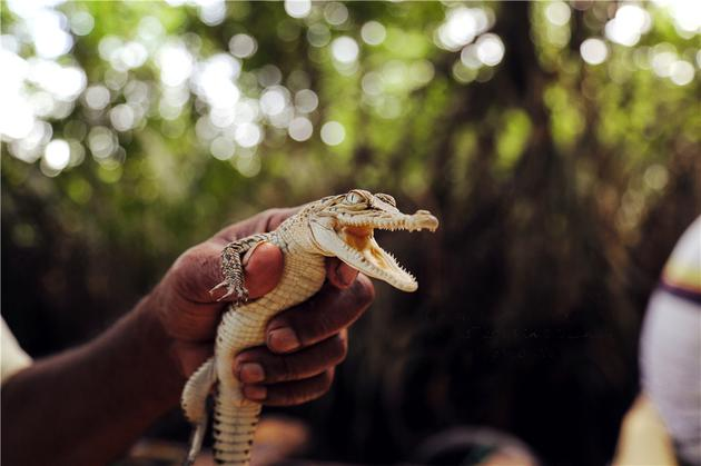 摄影作品:《本托塔河上的鳄鱼》
