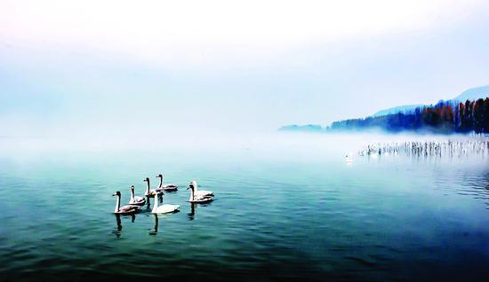 摄影作品 :晨雾中的天鹅
