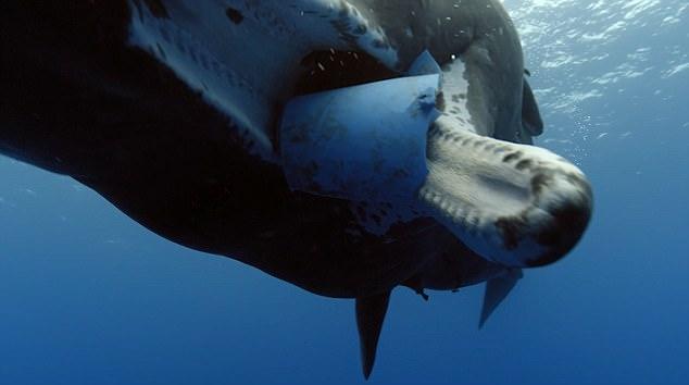 一只海龟出现在海面漂浮的塑料袋旁边。塑料垃圾是海洋动物面临的最大威胁之一。研究者表示,塑料袋只是海洋塑料污染的冰山一角,每年有数千万吨塑料丢弃物进入海洋,导致数以千计的鲸类和海豚死亡。有报告指出,日益严重的污染问题有可能使英国唯一的虎鲸群在短时间内消失。