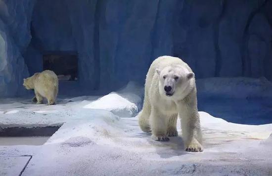 北极熊一如既往的霸气威武,如果把海豹和海狮跟北极熊关在一起,会发生什么?小编很好奇