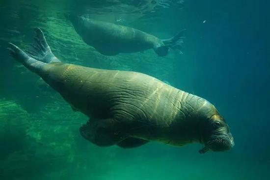 海象岛是展区,可以看水中的海象。