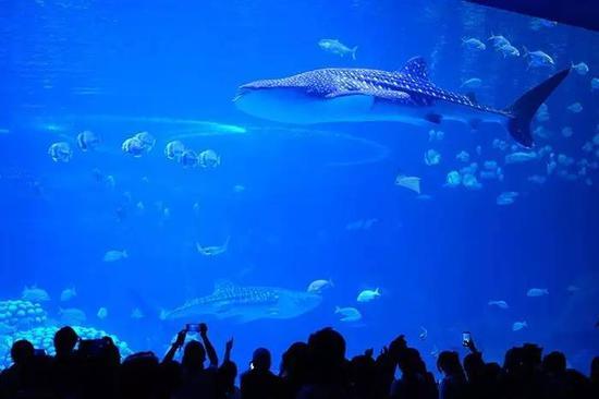 鲸鲨游弋,珍稀鱼类成群结队