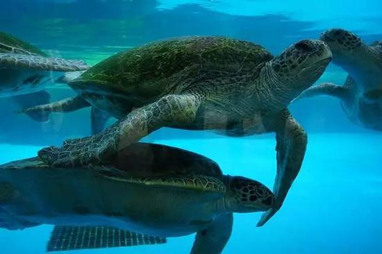 巨大的绿海龟成群结队,第一次听说绿海龟的血液也是绿色的。瞠目结舌。