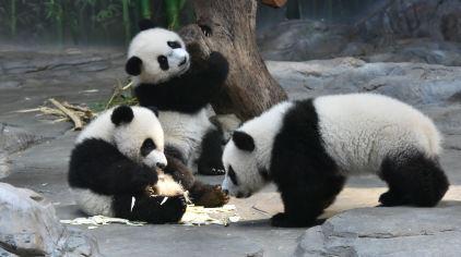 熊猫村——明星动物大熊猫三胞胎萌帅酷家族的新家,它们平常吃竹打滚,卖萌耍宝,胖胖哒的巨竹笋、五彩缤纷蘑菇,小溪和水池,都是它们日常嬉戏打闹的玩具