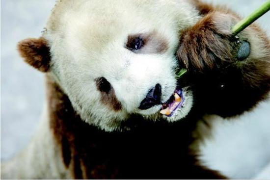 棕色熊猫七仔