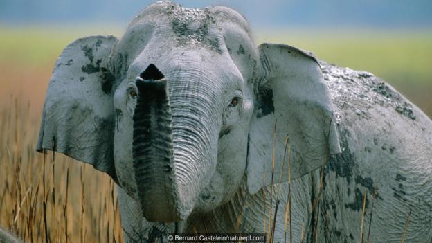 亚洲象能生下猛犸象吗?