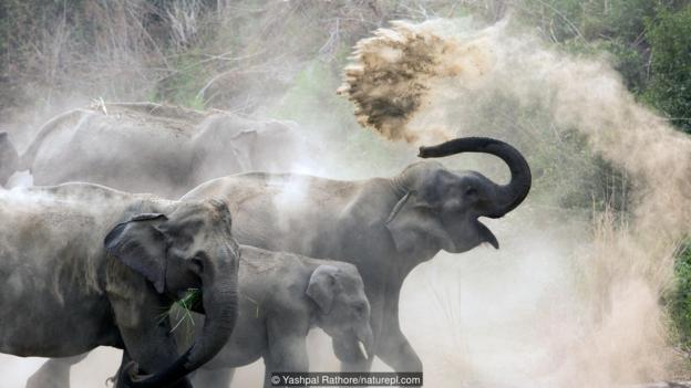 亚洲象与猛犸象有相似之处。