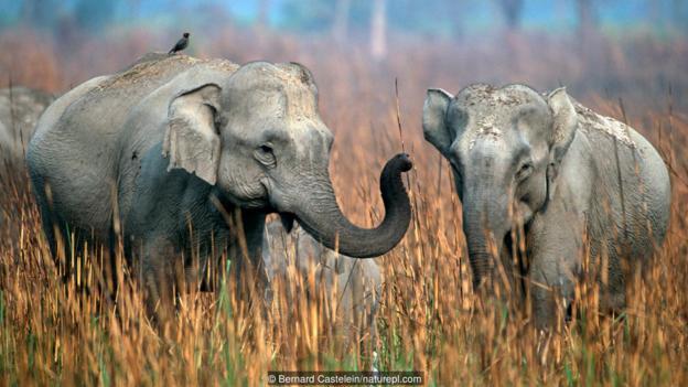 亚洲象属于濒危物种。