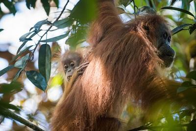 科学家鉴定猩猩新物种:生存情况不容乐观