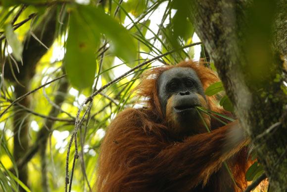 至少在1万到2万年前,达班努里猩猩就已经从苏门答腊岛上其他猩猩种群中分化出来。