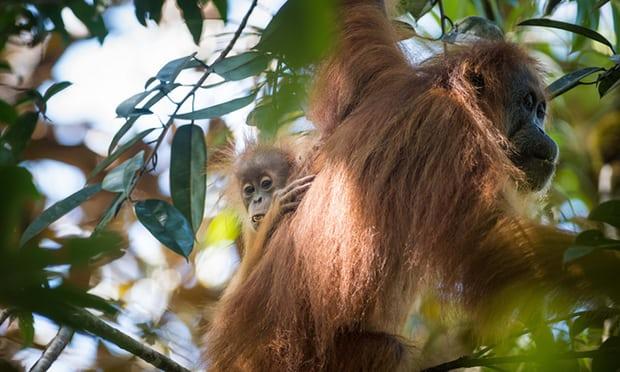 达班努里猩猩的肉桂色长毛比婆罗洲猩猩颜色更深,并更为卷曲,尤其是与毛发较为蓬松的苏门答腊猩猩对比更为明显。