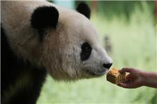 昆明野生动物园为熊猫做定制月饼
