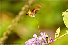 湖南现四不像昆虫蜂鸟鹰蛾:像蝶像鸟又像蜂
