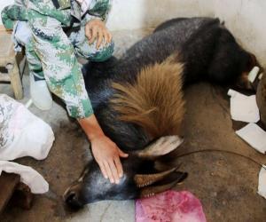 被安全麻醉的国家二级重点保护动物—鬣(liè)羚。