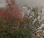 红叶白雪迎客来